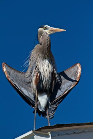 A Great Blue Heron (Ardea herodias) Dries its Wings After a Fishing Trip