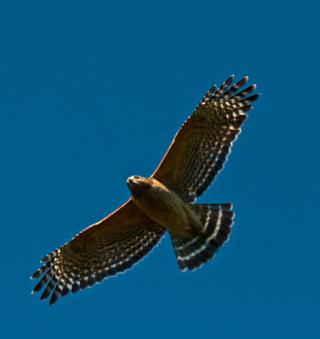 As This Hawk Flew Over Us, Its Red Shoulders Are Clearly Visible