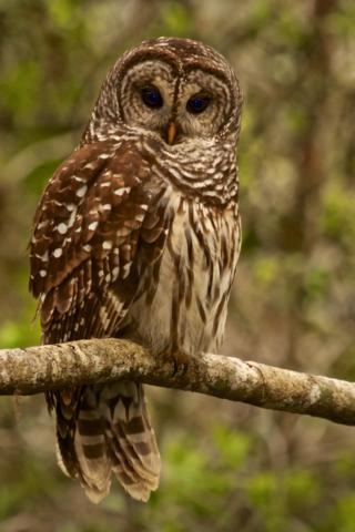 A Barred Owl (Strix varia) Rests Before Its Nighttime Hunt