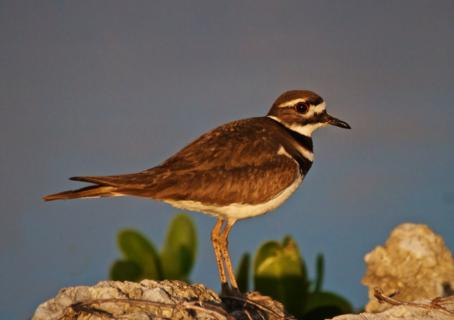 A Killdeer (Charadrius vociferus) at First Light