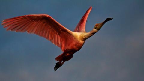 A Roseate Spoonbill (Ajaja ajaja) Flies Overhead