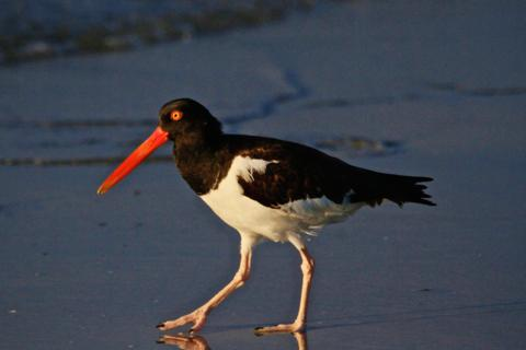 An American Oystercatcher (Haematopus palliatus) at First Light