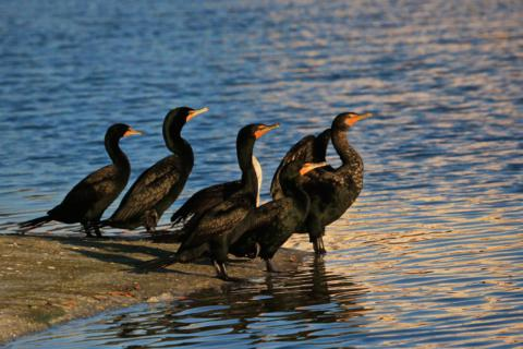 The Double-crested Cormorants (Phalacrocorax auritus) Are Alert