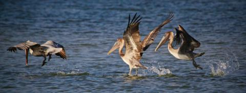Brown Pelicans (Pelecanus occidentalis) Fish Together