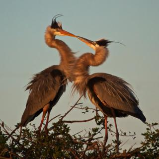 The Kiss of the Great Blue Heron (Ardea herodias)
