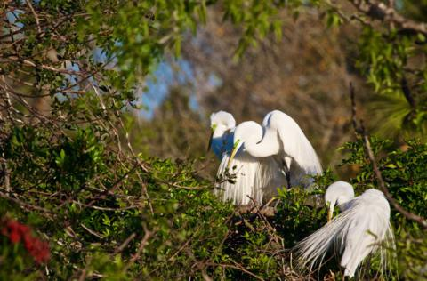Great Egrets (Ardea alba) Nest Together