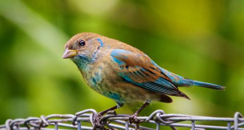 A Juvenile Indigo Bunting (Passerina cyanea) is Becoming Blue
