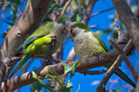 These Lovebirds are Monk Parakeets (Myiopsitta monachus)