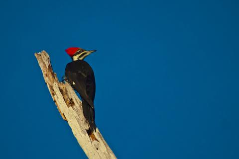 The Pileated Woodpecker (Dryocopus pileatus) Has a Red Pileum
