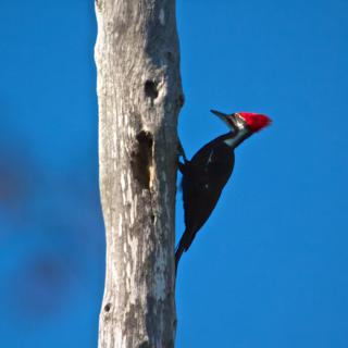 A Pileated Woodpecker (Dryocopus pileatus) Pecks Away at Wood