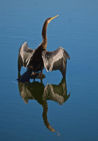 An Anhinga (Anhinga anhinga) Dries Its Feathers on an Outcroping in the Pond Apple Pond