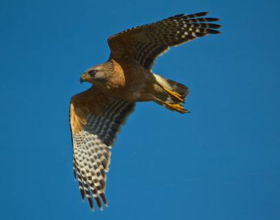 A Red-shouldered Hawk (Buteo lineatus) Takes Off