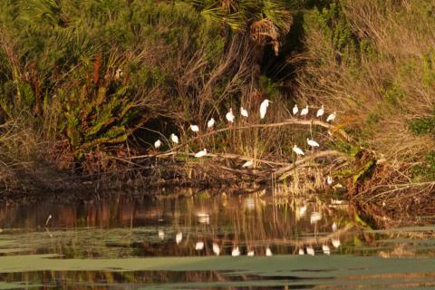 Many White Ibis (Eudocimus albus) Roost at the Ibis Pond Every Evening
