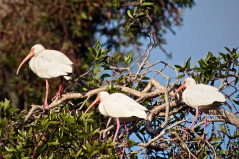 Three White Ibis (Eudocimus albus) Rest by the Pond