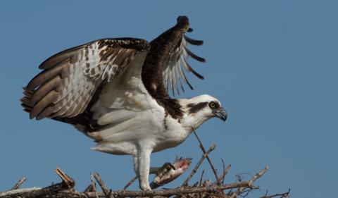 An Osprey (Pandion haliaetus) Brings a Fish Back to its Nest