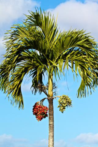 The Landscaping Includes This Coconut Palm in Fruit