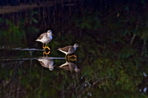 Lesser Yellowlegs (Tringa flavipes) and Their Reflections