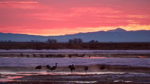 Sandhill Cranes (Grus canadensis) Awaken into a Cold Dawn