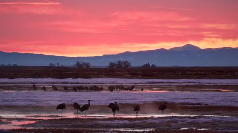 Sandhill Cranes (Grus canadensis) Awaken into a Cold Dawn