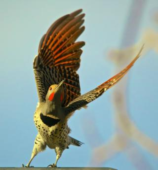 A Northern Flicker (Colaptes auratus) Launches from the Light