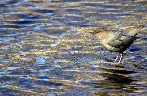 An American Dipper Takes a Break for Some Sun