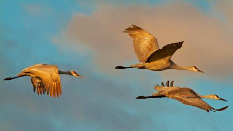 Three Sandhill Cranes Fly One Afternoon