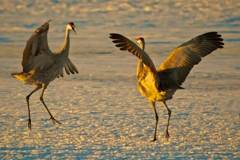 Two Sandhill Cranes Court