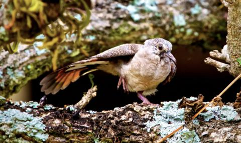 This Inca Dove Chick (Columbina inca) Tests its Wings as it Prepares to Leave the Nest