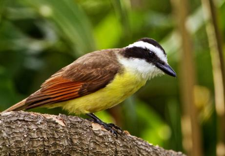 A Great Kiskadee (Pitangus sulphuratus) Perches in the Garden