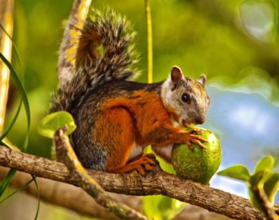 A Variegated Squirrel (Sciurus variegatoides) Enjoys a Big Piece of Fruit