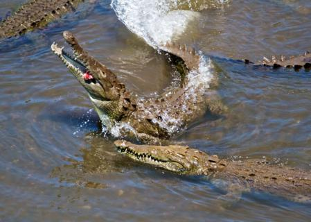 American Crocodiles (Crocodylus acutus) Vie for a Piece of Meat that Someone Threw from the Bridge