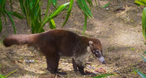The White-Nosed Coati (Nasua narica) is a Member of the Raccoon Family Living in Central America