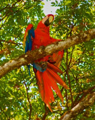 I Saw and Photographed this Scarlet Macaw (Ara macao) on One of Our Forest Hikes