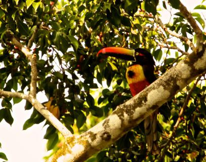 The Fiery-billed Araçari (Pteroglossus frantzii) is a Toucan Endemic to Costa Rica and Western Panama