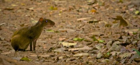 A Central American Agouti (Dasyprocta punctata) in the Forest Near Punta Leone