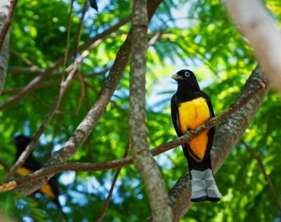 A Male Black-headed Trogon (Trogon melanocephalus) Lives in the Open Forests of Central America