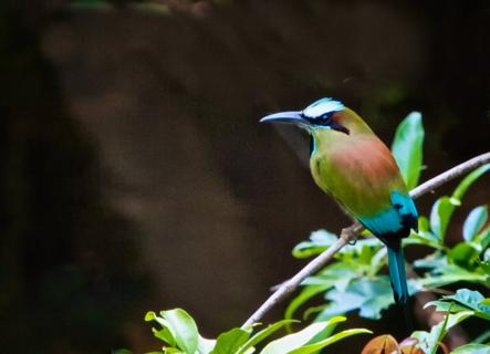 This Turquoise-browed Motmot (Eumomota superciliosa) was in Costa Rica's Guacimo Dry Forest, but it is the National Bird of Nicaragua and El Salvador