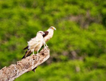 A Pair of Juvenile Yellow-headed Caracaras (Milvago chimachima) Look for Dinner
