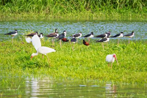Together by the Tárcoles River: Two American White Ibises (Eudocimus albus), Two Northern Jacanas (Jacana spinosa), and 14 Black-necked Stilts (Haematopus palliates)