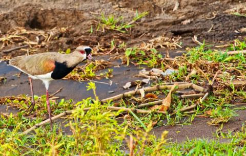 This Colorful Bird, a Southern Lapwing (Vanellus chilensis), is a Newcomer to Costa Rica