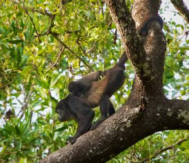 A Mantled Howler Monkey (Alouatta palliata) Baby Gets a Ride in the Forest