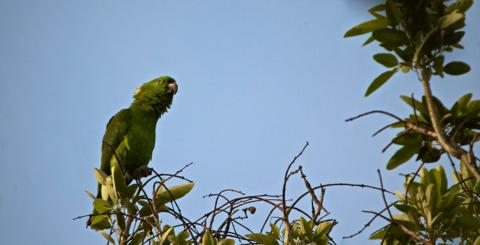 The Yellow-naped Amazon Parrot (Amazona auropalliata) Lives Near the Pacific from Southern Mexico to Costa Rica.