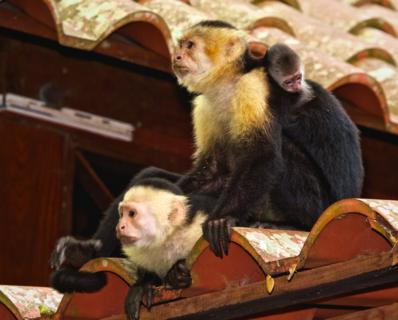 A Family of White-headed Capuchins (Cebus capucinus) Waits on the Roof of the Restaurant