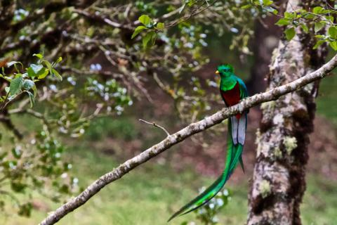 A Male Resplendent Quetzal (Pharomachrus mocinno) Was What I Most Wanted to See in Costa Rica