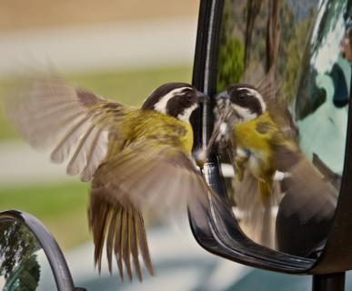 "A Sooty-capped Bush-Tanager (Chlorospingus pileatus) Fights with its ""Rival"" in the Rear View Mirror of our Bus"