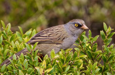 The Volcano Junco (Junco vulcani) Is Endemic to the High Mountains of Costa Rica and Western Panama