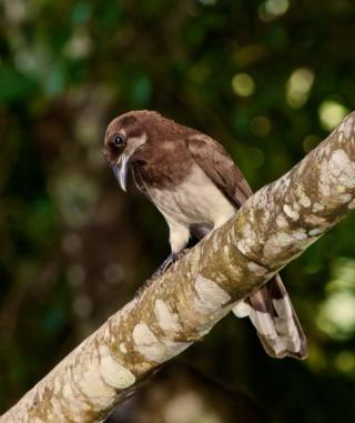 This Brown Jay (Cyanocorax cucullata) Also Visited the Lodge's Gardens