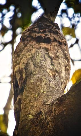 This is the So-called Common Potoo (Nyctibius grieseus) -- In Fact, It's Two of Them, Including the Baby on the Mother's Back