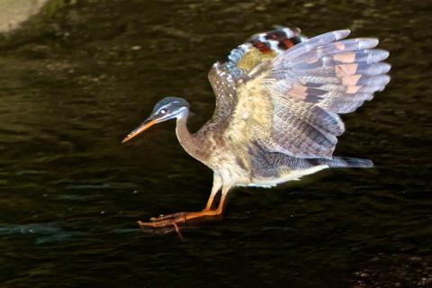 When the Sunbittern Jumps, its Colors Begin to Appear
