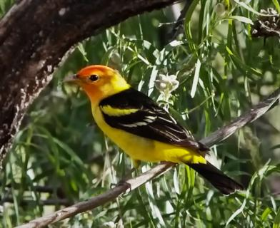 A Western Tanager (Piranga ludoviciana) Perches on a Branch